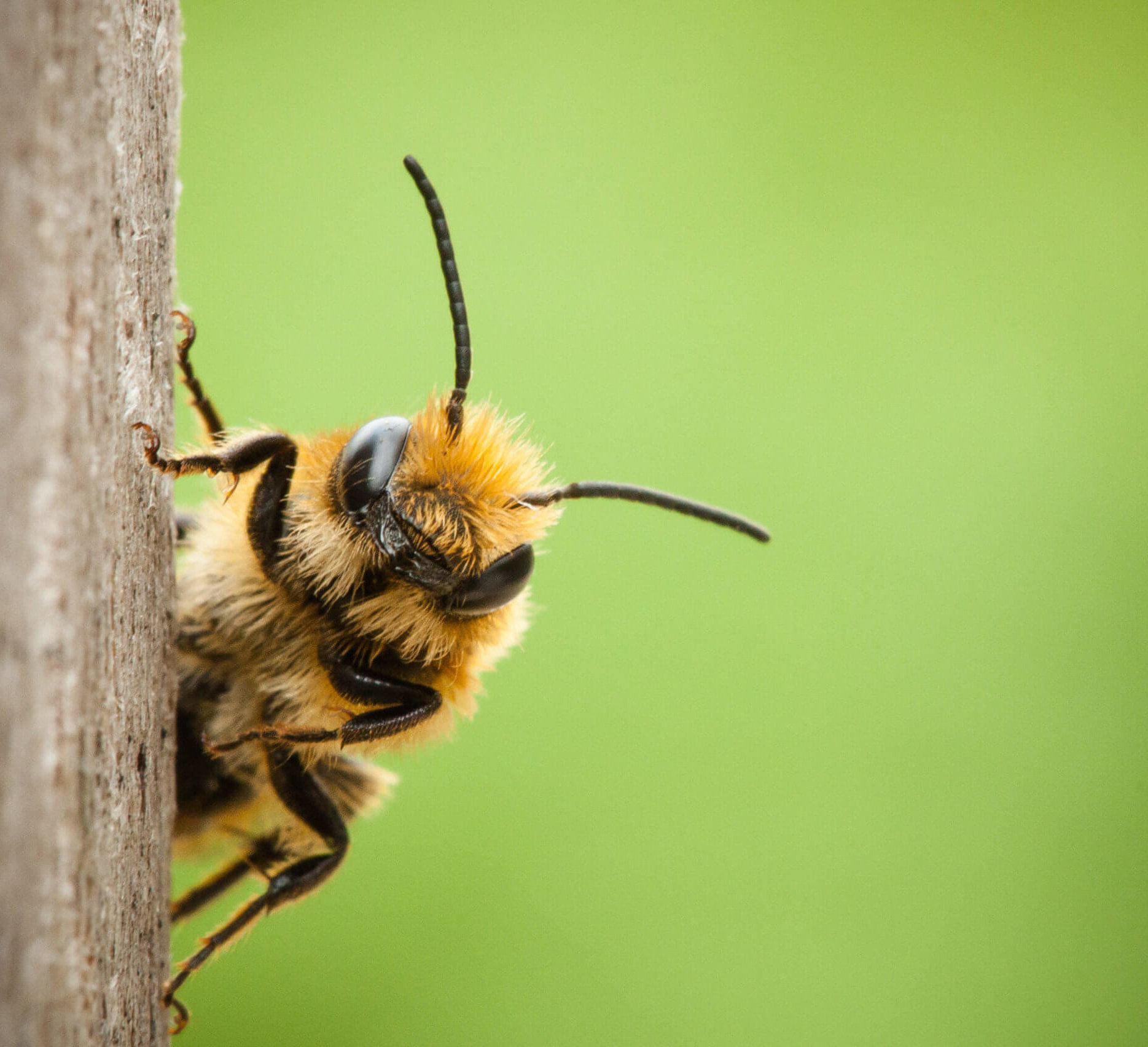 Solitary Native Bee